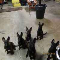 Belgian Shepherd Dog (Malinois) Puppies for sale in Kennesaw, GA, USA. price: NA