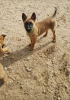Belgian Shepherd Dog (Malinois) Puppies for sale in Hesperia, CA, USA. price: NA