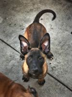 Belgian Shepherd Dog (Malinois) Puppies for sale in Long Beach, CA, USA. price: NA