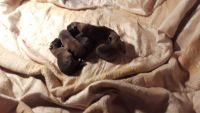 Belgian Shepherd Dog (Malinois) Puppies for sale in Colonial Beach, VA 22443, USA. price: NA