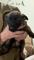 Belgian Shepherd Dog (Malinois) Puppies for sale in Granger, IN, USA. price: NA