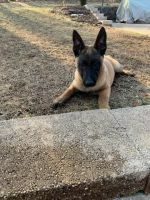 Belgian Shepherd Dog (Malinois) Puppies for sale in Churchville, VA 24421, USA. price: NA