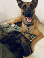 Belgian Shepherd Dog (Malinois) Puppies for sale in Wasilla, AK 99654, USA. price: NA