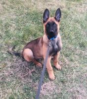Belgian Shepherd Dog (Malinois) Puppies for sale in Manassas Park, VA 20111, USA. price: NA