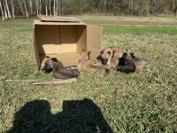 Belgian Shepherd Dog (Malinois) Puppies for sale in Clanton, AL, USA. price: NA