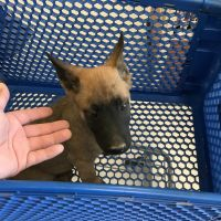 Belgian Shepherd Dog (Malinois) Puppies for sale in Alhambra, CA, USA. price: NA