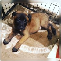 Belgian Shepherd Dog (Malinois) Puppies for sale in Port Ludlow, WA, USA. price: NA