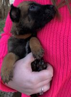 Belgian Shepherd Dog (Malinois) Puppies for sale in Enid, OK, USA. price: NA