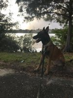 Belgian Shepherd Dog (Malinois) Puppies for sale in Hollywood, FL, USA. price: NA