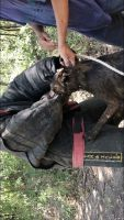 Belgian Shepherd Dog (Malinois) Puppies for sale in Texas City, TX, USA. price: NA