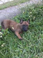 Belgian Shepherd Dog (Malinois) Puppies for sale in Hallandale Beach, FL 33009, USA. price: NA