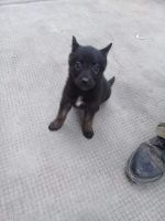 Belgian Shepherd Dog (Malinois) Puppies for sale in 6904 Corsicana St, Houston, TX 77020, USA. price: NA