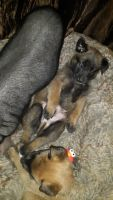 Belgian Shepherd Dog (Malinois) Puppies for sale in 11405 NW Dove Rd, Terrebonne, OR 97760, USA. price: NA