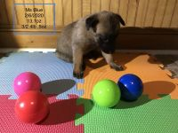 Belgian Shepherd Dog (Malinois) Puppies for sale in Black Mountain, NC 28711, USA. price: NA