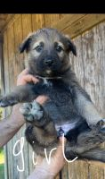 Belgian Shepherd Dog (Malinois) Puppies for sale in Lexington, NC, USA. price: NA