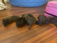 Belgian Shepherd Dog (Malinois) Puppies for sale in Palatka, FL 32177, USA. price: NA