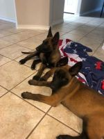 Belgian Shepherd Dog (Malinois) Puppies for sale in Austin, TX, USA. price: NA