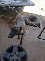 Belgian Shepherd Dog (Malinois) Puppies for sale in N 39th Ave, Phoenix, AZ, USA. price: NA