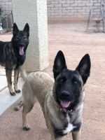Belgian Shepherd Dog (Malinois) Puppies for sale in Tucson, AZ, USA. price: NA