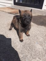 Belgian Shepherd Dog (Malinois) Puppies for sale in Louisville, KY, USA. price: NA