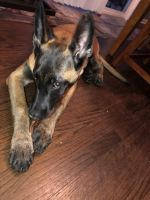 Belgian Shepherd Dog (Malinois) Puppies for sale in Lisle, IL, USA. price: NA