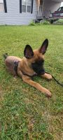 Belgian Shepherd Dog (Malinois) Puppies for sale in Zeeland, MI 49464, USA. price: NA