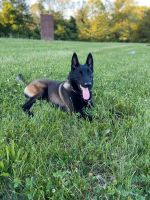 Belgian Shepherd Dog (Malinois) Puppies for sale in Dartmouth, MA, USA. price: NA