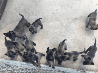 Belgian Shepherd Dog (Malinois) Puppies for sale in Salisbury, NC, USA. price: NA
