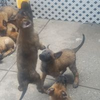Belgian Shepherd Dog (Malinois) Puppies for sale in Brooklyn, NY, USA. price: NA