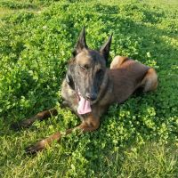 Belgian Shepherd Dog (Malinois) Puppies for sale in Cedar Park, TX, USA. price: NA