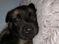 Belgian Shepherd Dog (Malinois) Puppies for sale in Opa-locka, FL, USA. price: NA