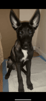 Belgian Shepherd Dog (Malinois) Puppies for sale in New York, NY, USA. price: NA