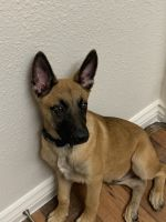 Belgian Shepherd Dog (Malinois) Puppies for sale in Pomerado Rd, Poway, CA, USA. price: NA