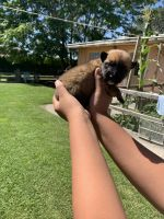 Belgian Shepherd Dog (Malinois) Puppies for sale in 2521 Rd 52, Pasco, WA 99301, USA. price: NA