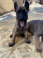 Belgian Shepherd Dog (Malinois) Puppies for sale in Pharr, TX 78577, USA. price: NA