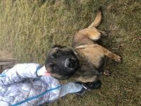Belgian Shepherd Dog (Malinois) Puppies for sale in Kalispell, MT 59901, USA. price: NA