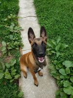 Belgian Shepherd Dog (Malinois) Puppies for sale in 503 S Bradford St, Allentown, PA 18109, USA. price: NA