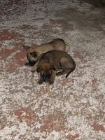 Belgian Shepherd Dog (Malinois) Puppies for sale in Logan Square, Chicago, IL, USA. price: NA