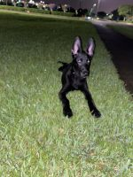 Belgian Shepherd Dog (Malinois) Puppies for sale in Tampa, FL 33619, USA. price: NA
