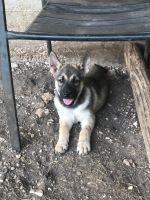 Belgian Shepherd Dog (Malinois) Puppies for sale in Blanco, TX 78606, USA. price: NA