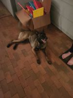 Belgian Shepherd Dog (Malinois) Puppies for sale in Derby, KS 67037, USA. price: NA