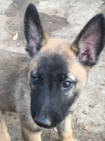 Belgian Shepherd Dog (Malinois) Puppies for sale in Lakeside, CA, USA. price: NA