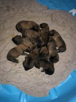 Belgian Shepherd Dog (Malinois) Puppies for sale in Elkins Park, PA, USA. price: NA