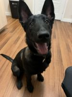 Belgian Shepherd Dog (Malinois) Puppies for sale in Aurora, CO 80016, USA. price: NA