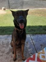 Belgian Shepherd Dog (Malinois) Puppies for sale in Mesa, AZ, USA. price: NA