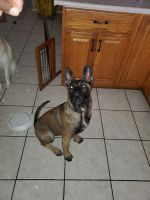 Belgian Shepherd Dog (Malinois) Puppies for sale in Chula Vista, CA 91910, USA. price: NA