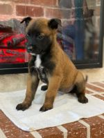 Belgian Shepherd Dog (Malinois) Puppies for sale in San Antonio, TX 78263, USA. price: NA