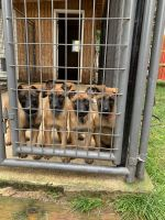 Belgian Shepherd Dog (Malinois) Puppies for sale in Orting, WA 98360, USA. price: NA