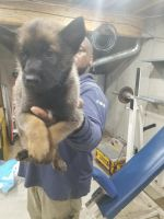 Belgian Shepherd Dog (Malinois) Puppies for sale in Burlington, NJ 08016, USA. price: NA