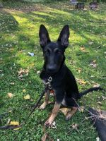 Belgian Shepherd Dog (Malinois) Puppies for sale in Burnsville, MN, USA. price: NA